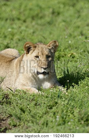 Lion Cub, South Africa