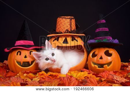 Fluffy white kitten peeking out of a pumpkin jack o lantern two smiling jack o lanterns wearing witch hats on both sides. Fall leaves on ground with black background Halloween them with cat
