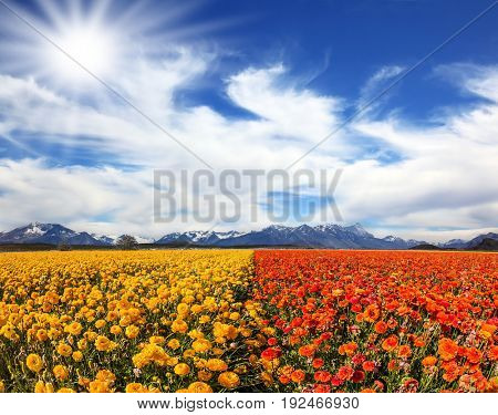 The southern sun illuminates the flower fields of red and yellow garden buttercups- ranunculus. Strong wind drives the clouds. Concept of rural tourism