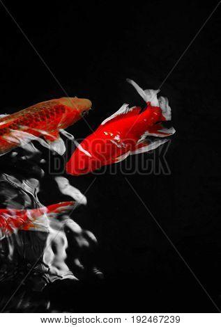 ornamental koi fish in pond color key red