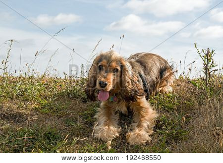 English Show Cocker Spaniel puppy resting and panting on grassy bank with sky behind