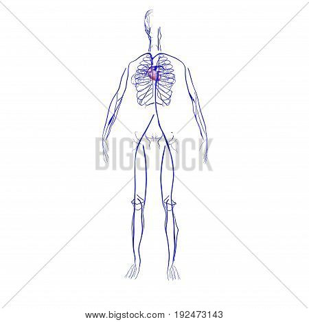 3d rendered anatomy illustration of the human vascular system