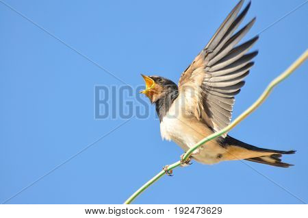 Swallow singing on wires and rest against the blue sky. Swallow bird in natural habitat