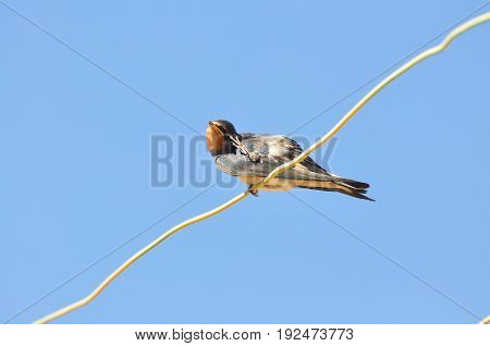 Swallow scratching herself on wires and rest against the blue sky. Swallow bird in natural habitat