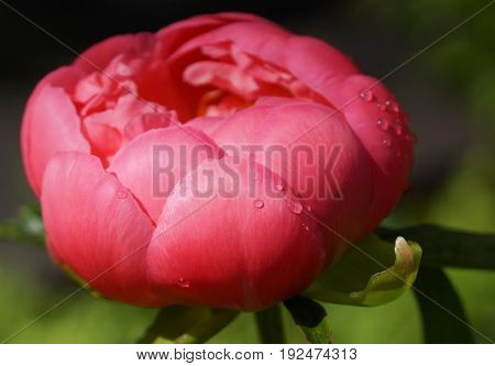 Peony Pink Hawaiin Coral, Paeonia lactiflora, flowers of the gardens