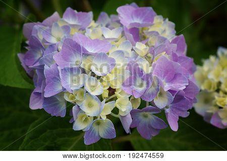 Penny mac, Hydrangea macrophylla, flowers of the gardens