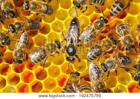 Mistress bee colonies. Queen bee is larger than worker bee. Queen bee surrounded by her workers.
