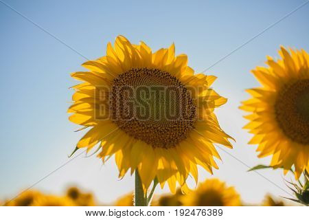 Sunflowers field. Close up view of sunflower in the sunlight. Sunflowers background for designers. Yellow big sunflower in bloom.