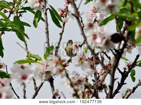 Small phylloscopus bird among branches of almond tree in bloom
