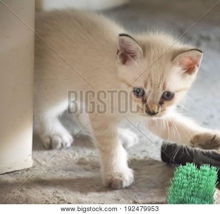 cute white kitten and blue eyes animal.