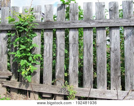 Old wooden fence with a green bush of raspberry a bush in the Russian village