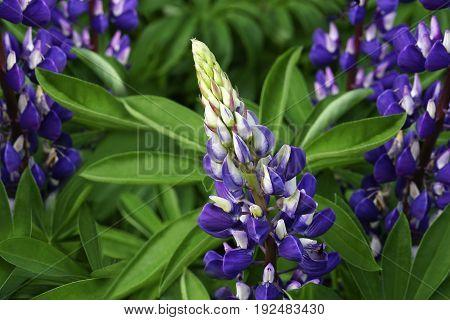 Violet garden flowers on a green background . Close-up. Floral background. Soft focus Nature.
