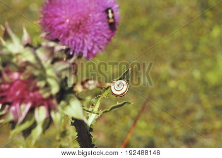 Snail on a stalk of Thistle. Snail closeup on a background of red flower
