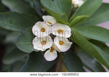 Euphorbia milii / Tropical plant  foliage plants of Southeast Asia