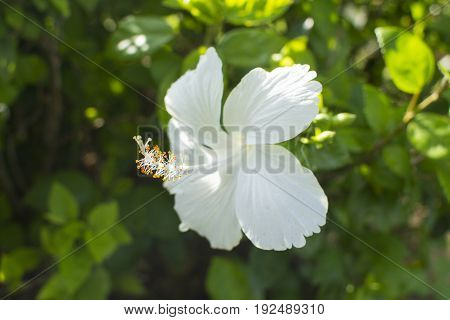 Hibiscus / Tropical plant  foliage plants of Southeast Asia