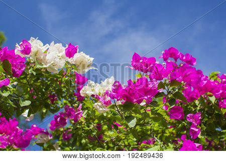 Bougainvillea / Tropical plant  foliage plants of Southeast Asia
