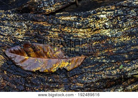 Fallen leaf decayed over old wooden trunk in forest