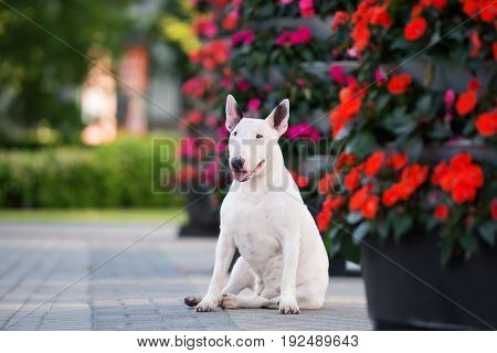 english bull terrier dog posing outdoors in summer