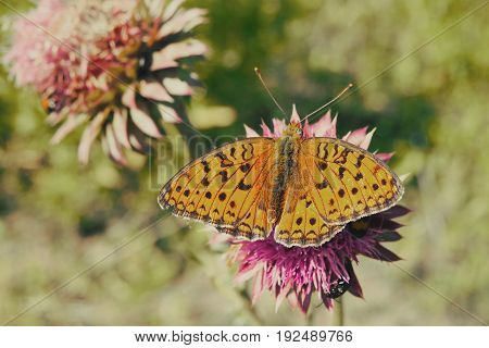 Beautiful butterfly on purple flower field. Orange colorful butterfly wings. Summer colors