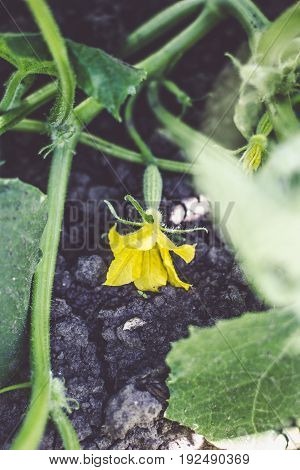 blooming ovary of young fresh organic vegetable, growing cucumbers on the field. Spring agricultural background.
