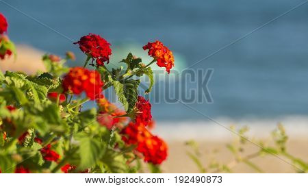 red Flowers of Rhodes on blue beach background