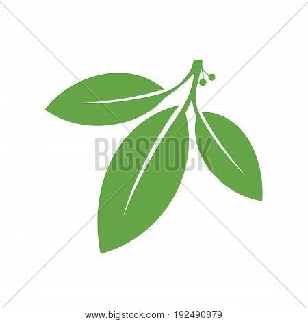 Bay leaf. Green leaves on white background