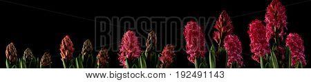 Pink hyacinth time lapse series