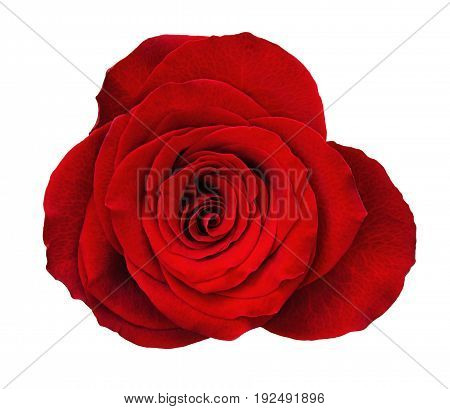 Red rose flower isolated on white. Top view.