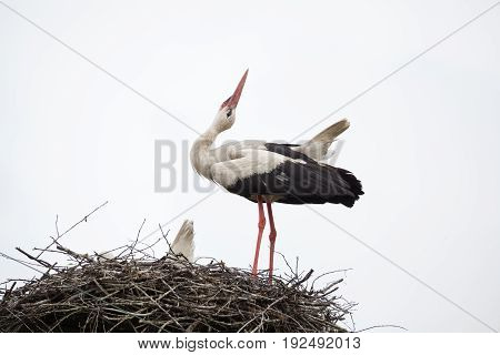 The adult white stork in a nest has raised the head against the background of the light blue sky