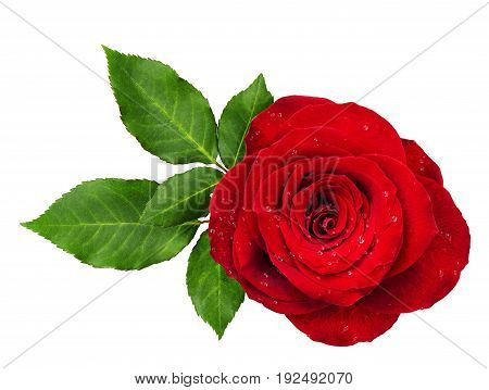 Red rose flower rosette with leaves isolated on white. Top view.