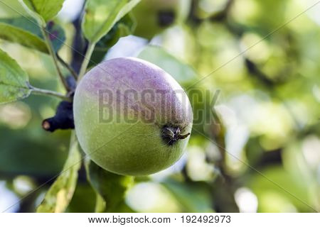 Growing green and red apple on tree branch. Farming and gardening concept.