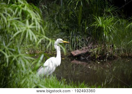 White heron by the stream