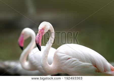Two white Flamingos in the water