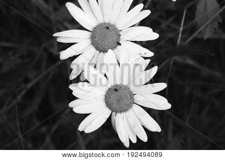 Heads of camomiles against the background of the nature. The black-and-white photo with flowers. Summer flowers on an indistinct background