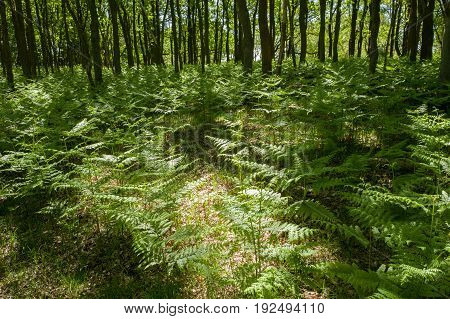 Forest with oak trees and ferns in the National Park Hoge Veluwe Netherlands.