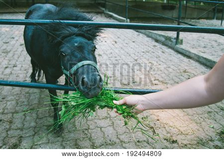 Man feeding pony with grass in summer day