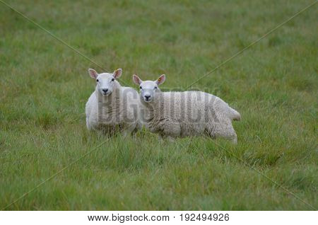 Two Adorable White Sheep In A Field