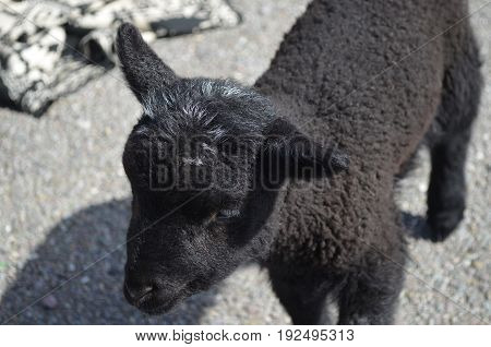 Cute baby black sheep in a remote location