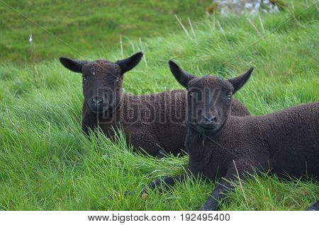 Two Black sheep chilling in a grassy field