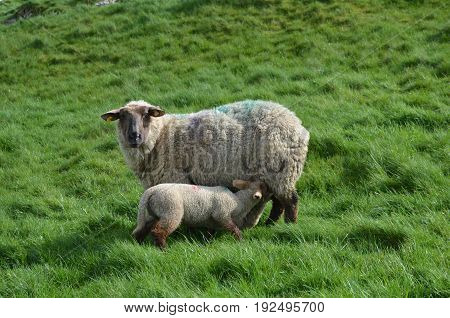 Mother Sheep feeding her baby in a field