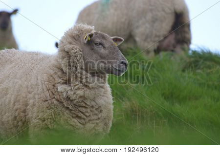 Beautiful white sheep wandering in a remote location