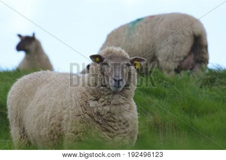 White sheep grazing a field in ireland