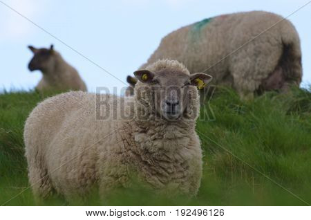 Three sheep roaming a grassy field in oreland