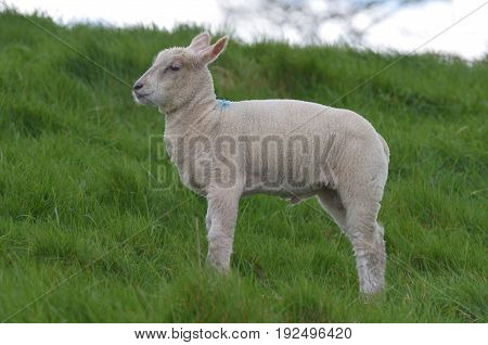 Beautiful White sheep in a field in Ireland