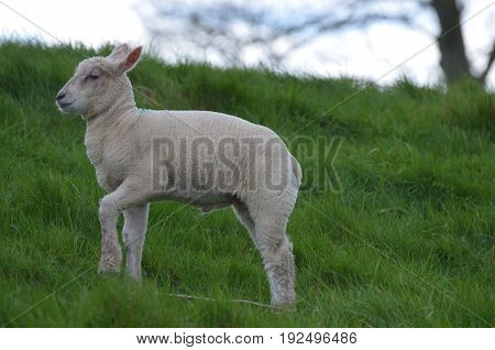 White Sheep Playing In a field in Ireland