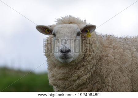 Adorable White Sheep in grassy field in Ireland