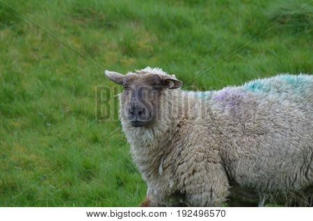 Cute fuzzy sheep in a remote location