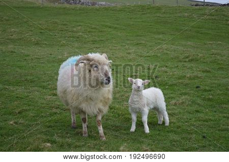 Cute Mother and Baby sheep in a field in Ireland