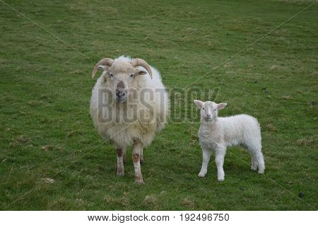 Cute sheep with mother in a grass field