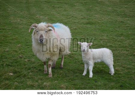 A mother and her adorable baby sheep in a field